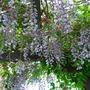 Wisteria Sinensis (Wisteria sinensis (Chinese wisteria))