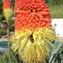 Kniphofia caulescens (Red hot poker)