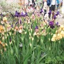 Iris from Morris collection for Siris