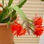 cactus orchid