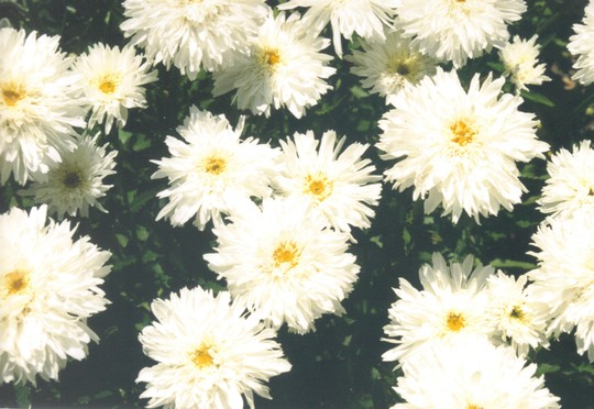 Shasta Daisy - Crazy Daisy (Leucanthemum x superbum (Shasta daisy))