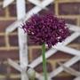 Allium atropurpureum - 2015 (Allium atropurpureum)