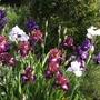 Pretty corner this morning (Iris germanica (Orris))