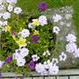 Verbena 'silver magic' with Petunias