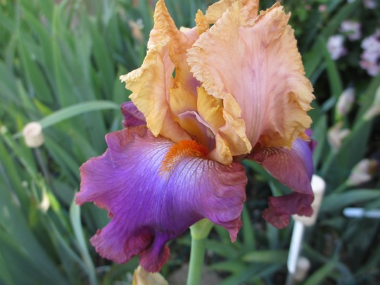 Tall bearded Iris 'Petilant' (Iris germanica (Orris))
