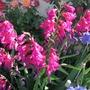 Species Gladiolus (Gladiolus communis (Gladiolus) byzantinus)