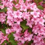 close up of my variegated weigela