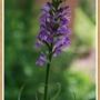 D. elata. Marsh Orchid.  June 2015.