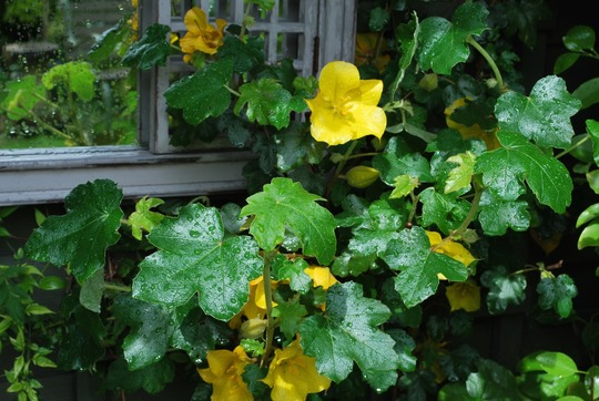 Fremontodendron flowering well... (Fremontodendron californicum (California Beauty))