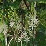 Camassia a variegated form.. (Camassia leichtlinii Sacajawea.)