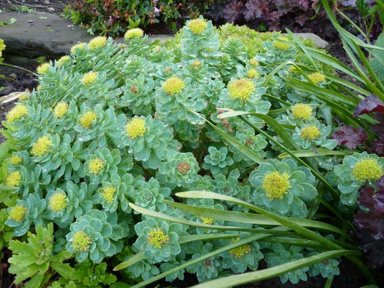 Rhodiola Rosea ...Thanks Dawn! (Rhodiola rosea (Kingscrown))