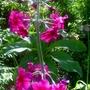 Primula japonica  'Miller's crimson' (Primula japonica  'Miller's crimson')