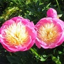 Paeonia lactiflora 'Bowl of Beauty' (Paeonia lactiflora 'Bowl of Beauty')