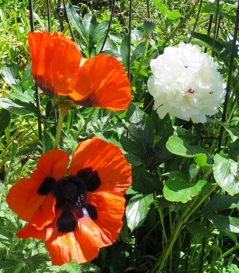 Orange (red) poppies and white peony