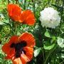 Poppies_abd_peony
