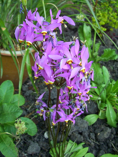 101 1621 (Dodecatheon meadia)