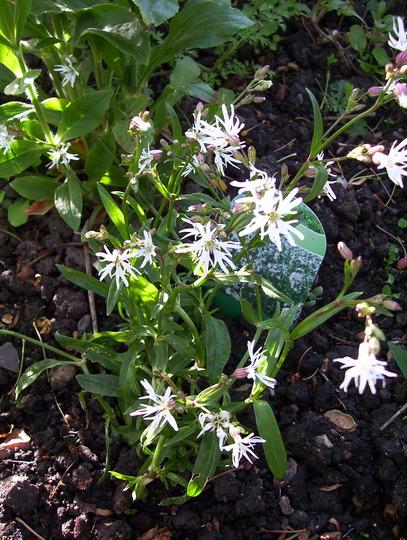 White Robin - white variant of Ragged Robin (Lychnis flos-cuculi (Ragged robin))