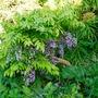 Plaited Wisteria, with Crambe Cordifolia Hostas etc.. (Crambe cordifolia)