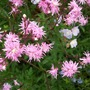 Lychnis 'Jenny' with Geranium 'Summer Skies'