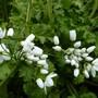 Allium neapolitanum 'Cowanii' (Allium neapolitanum (White Garlic))