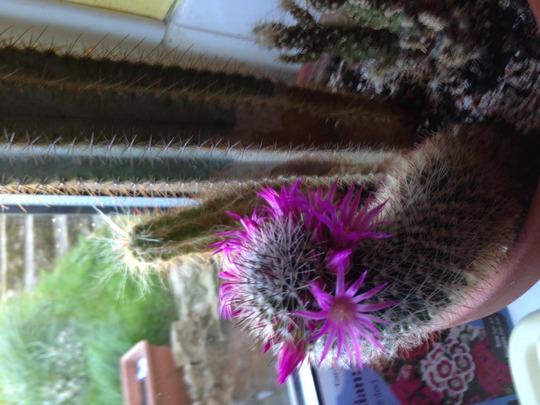 Mammillary cactus (I think)