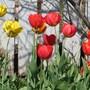 Tulips_2015_026