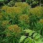 Euphorbia Mellifera... (Euphorbia mellifera (Honey Spurge))