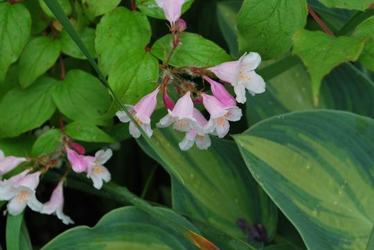Kolkwitzia Pink Cloud... (Kolkwitzia amabilis (American Beauty Bush))