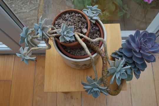Some of our houseplants.... (Echeveria Perle von Nurnberg..)