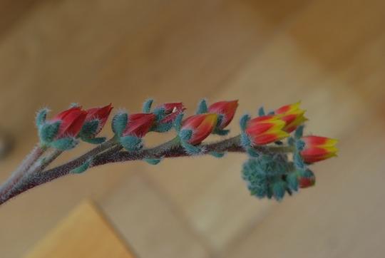 Echeveria setosa flowering stem.... (Echeveria Setosa)