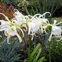 Peruvian Spider Lily