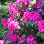 Rhododendron Lord Roberts