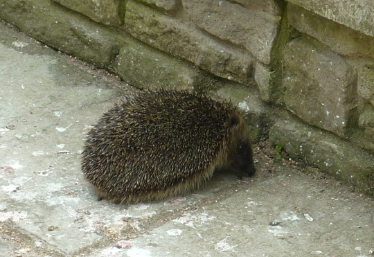 Hedgehog in our garden.