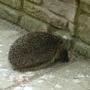 Hedgehog in our garden.