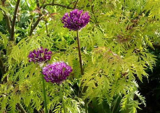Allium 'Christophii' with Sambucus backdrop (Allium christophii (Persian Onion))