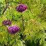 Allium 'Christophii' with Sambucus backdrop (Allium christophii (Persian Onion))