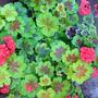 geranium 03 (Pelargonium)