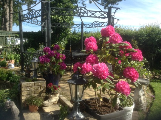 Rhododendrons in Pots (1)