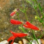 Penstemon_pinifolius..june_2015