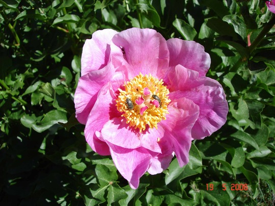 Peony from Sprout to Flower, 19th May 2006 (6 of 8) (Paeonia)
