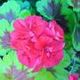 DSC00050_edited.jpg (Pelargonium)