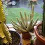 Varigated Corn Cob Cactus