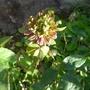 Rosa x odorata 'Viridiflora' - 2015 (Rosa x odorata 'Viridiflora')