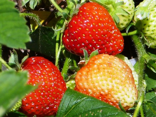 1st Strawberries in veg .garden