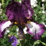 Autumn Encore (Iris germanica (Orris))