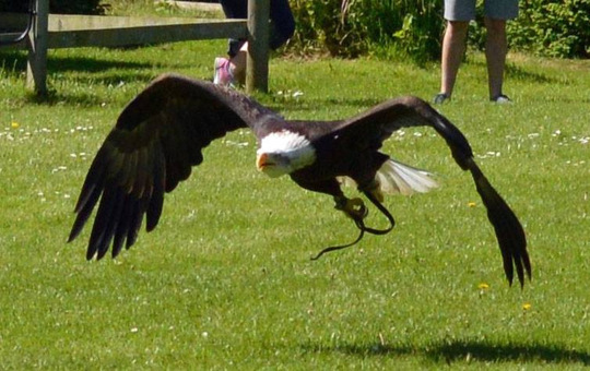 "Alaskan Bald Eagle (Haliaeetus leucocephalus) ""Liberty"""