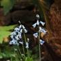 Brimeura amethystina (Brimeura amethystina (Spanish Hyacinth))