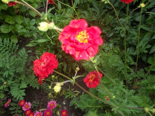 This is a closer look at the Geum which is called Blazing Sunset !