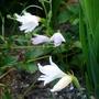 Gladiolus_italicus_alba_2015