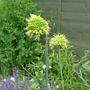 Allium obliquum (close-up) - 2015 (Allium obliquum)